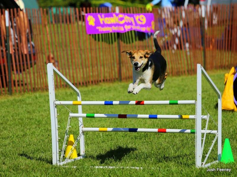 baileyfoxhoundmixjumpingoveralargetriplejump.jpg