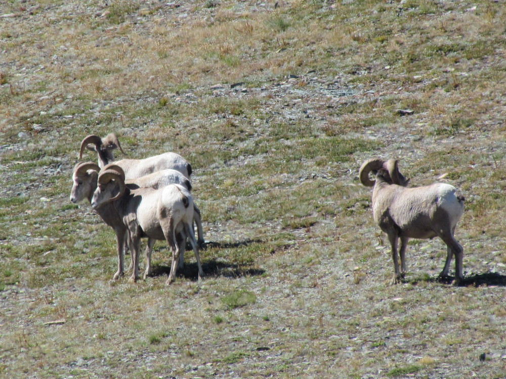 Big horn sheep in Two Medicine
