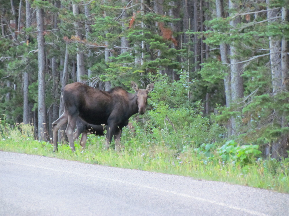 moose and calf in Many Glacier MT