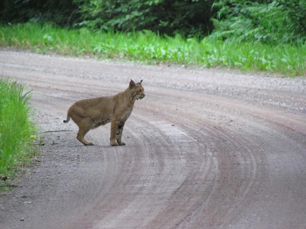 bobcat+crossing+in+minnesota.jpg