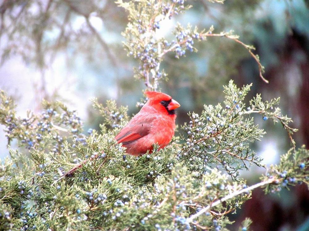 male_red_cardinal_mn.jpg