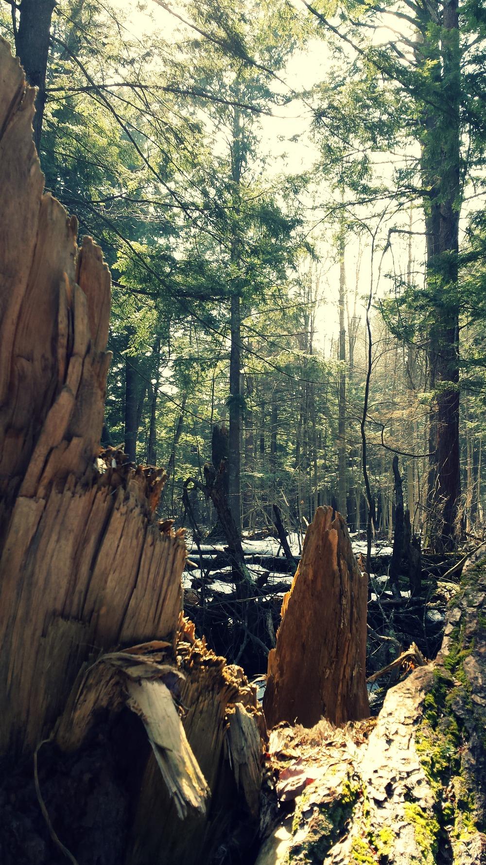 broken-tree-michigan-forest.jpg
