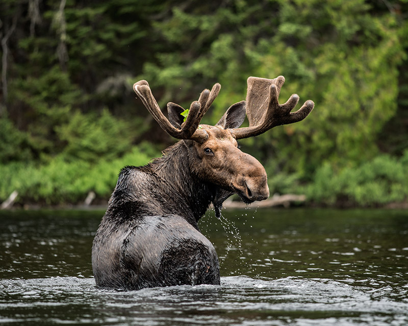 Boundary Waters Canoe Area Wilderness (BWCA) - Moose