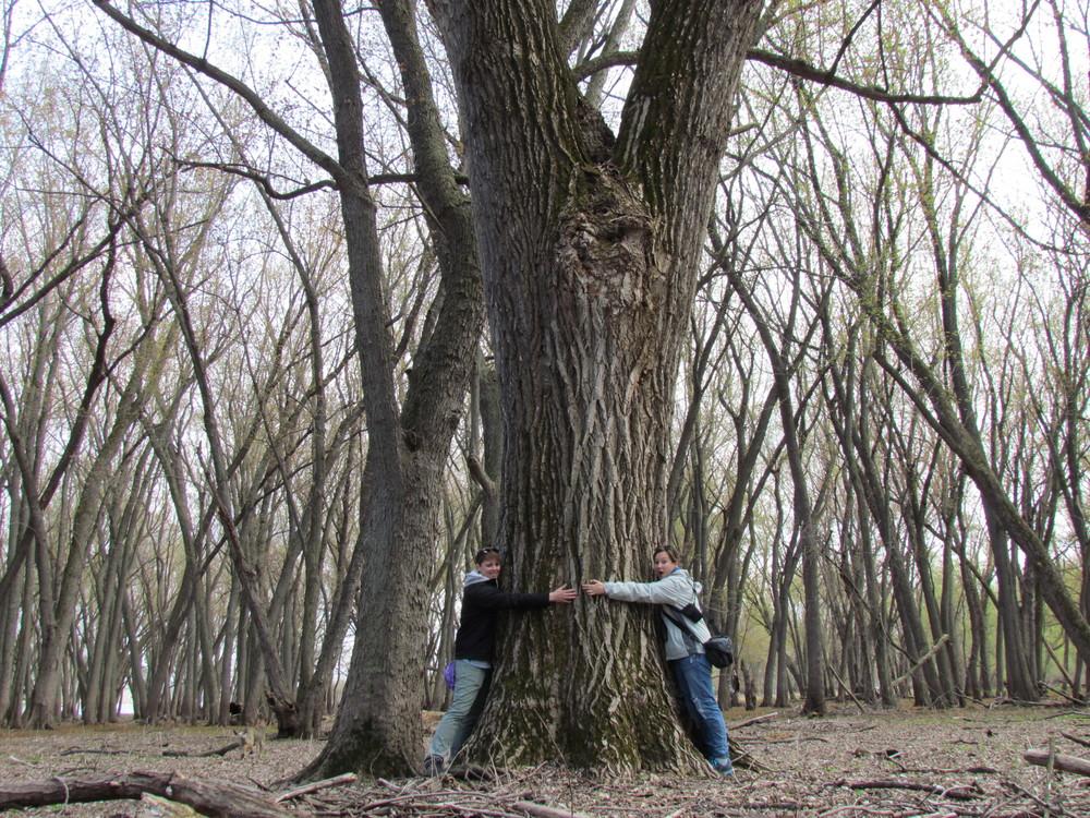 forest-frontenac-mn-big-tree.JPG