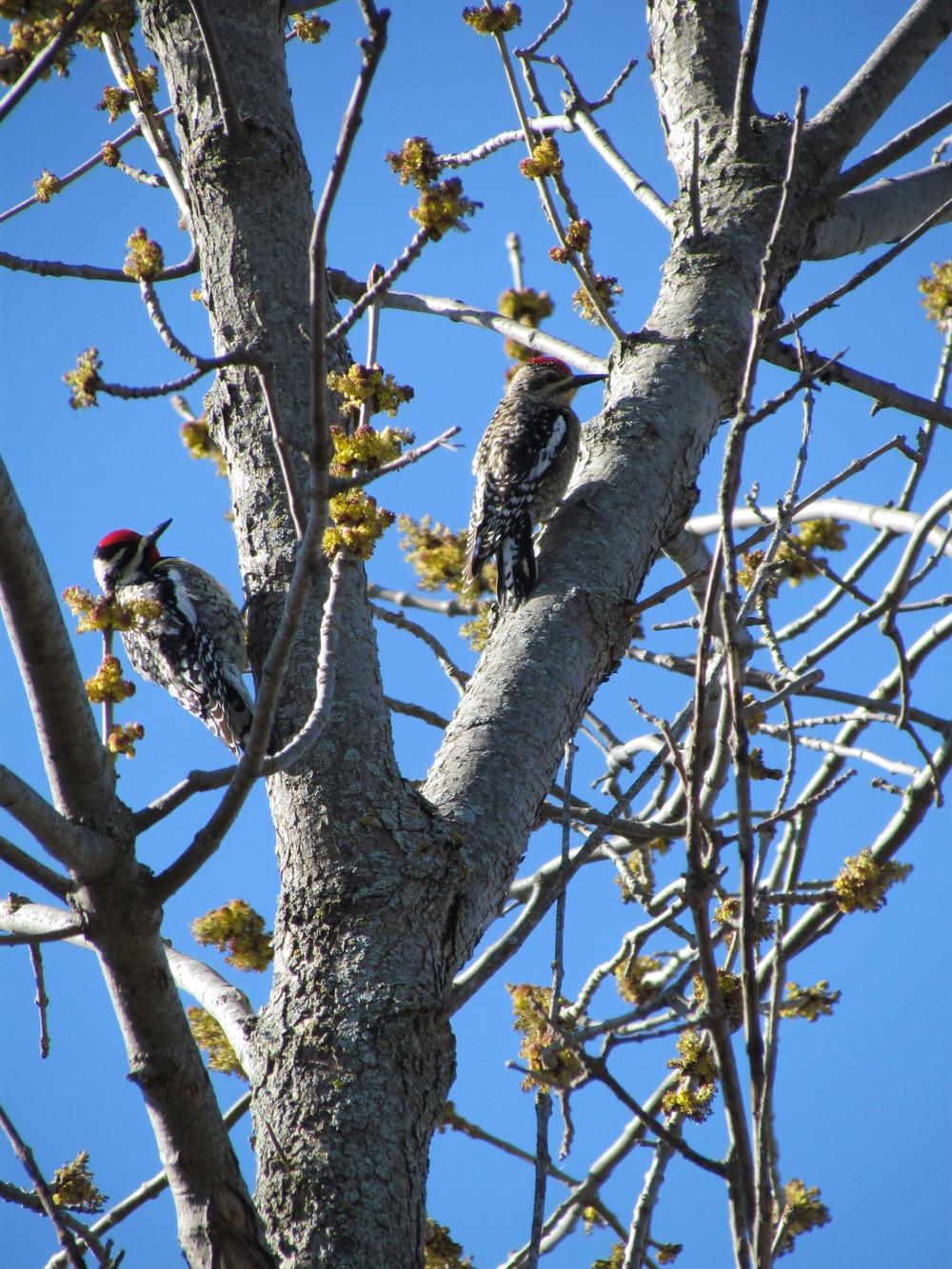 sapsucker-woodpecker-rekinspire-mn.JPG