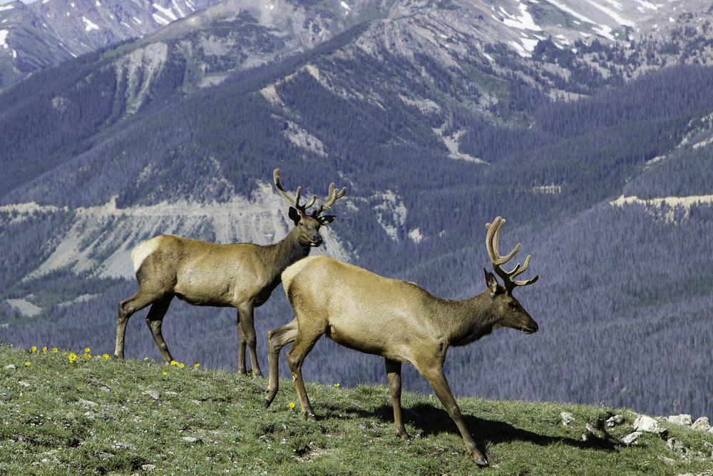 elk-mount-ida-colordo-rekinspire.jpg