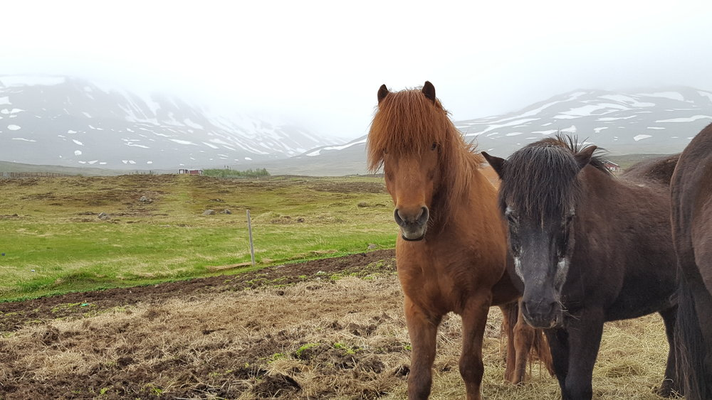 50 - icelandic horses.jpg