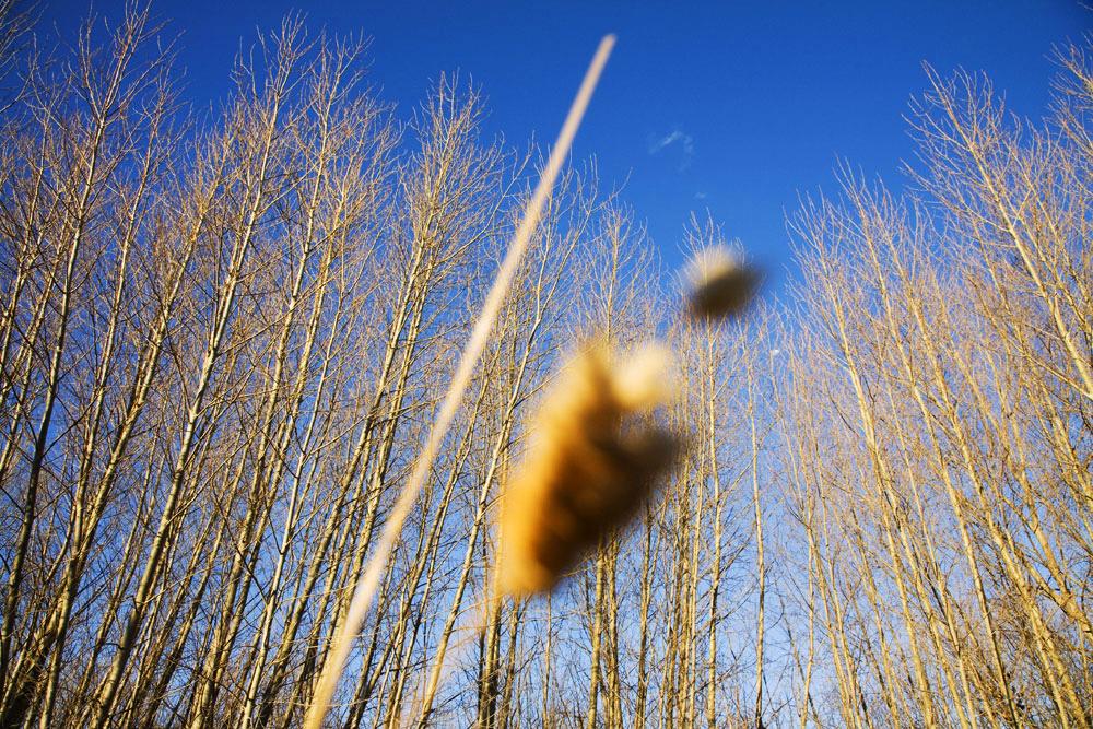 Monaro-poplars-sunset.jpg