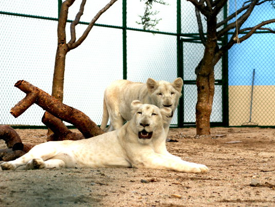White Lions at G-Force Adventures. Courtesy Photo