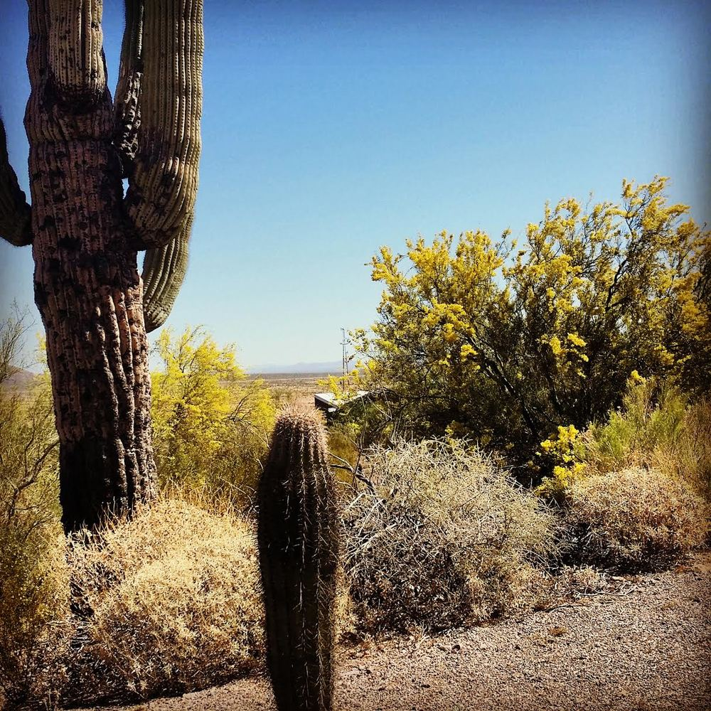 The Saguaro Cactus and The Blooming Palo Verde at Picacho Peak State Park.