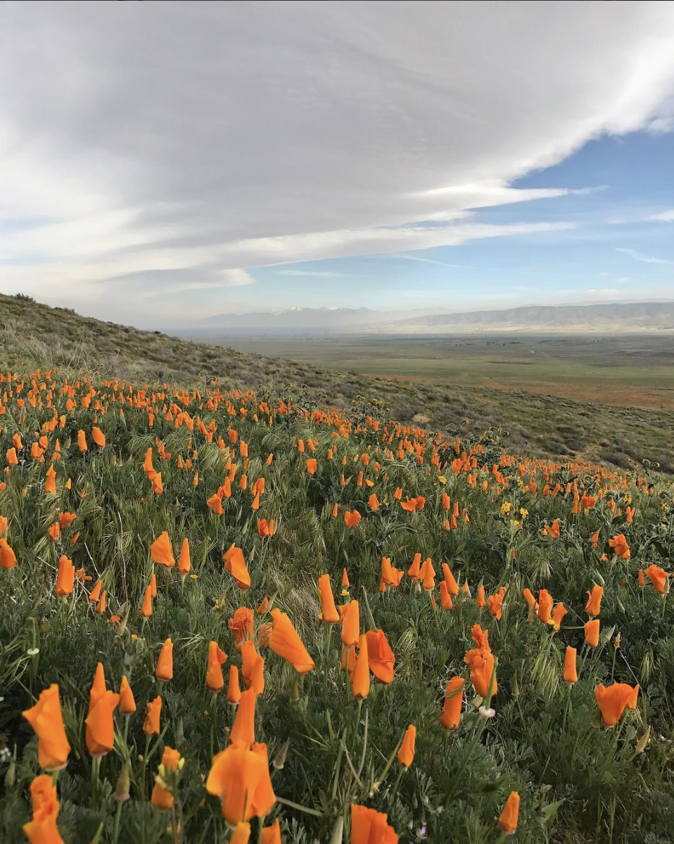 Carpet of CA poppies