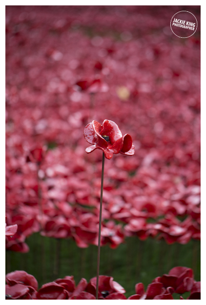Poppies14 (19 of 39).jpg
