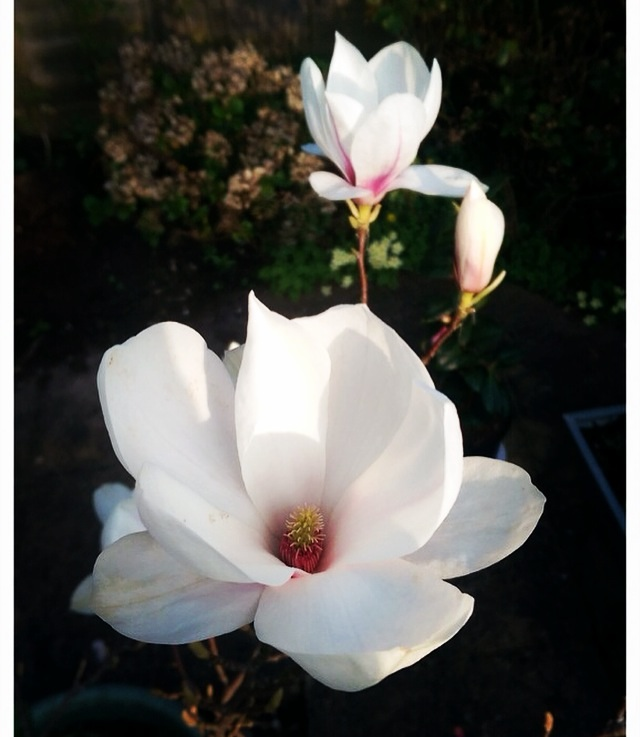 My garden magnolia delights me every year