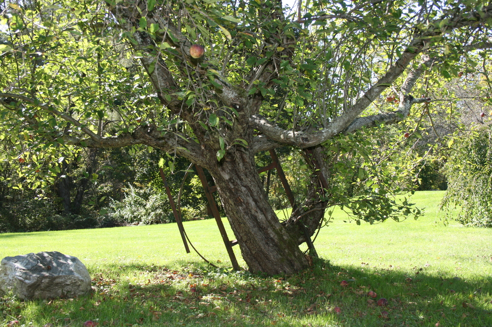 an old apple tree near my dye garden with a metal piece grown into it- a throwback from when the property was a farm...