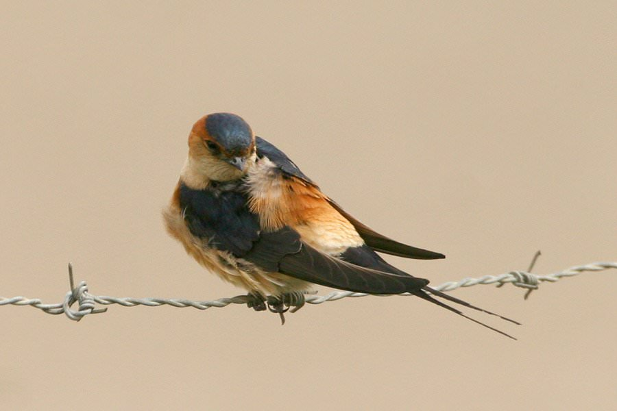 Red rump swallow