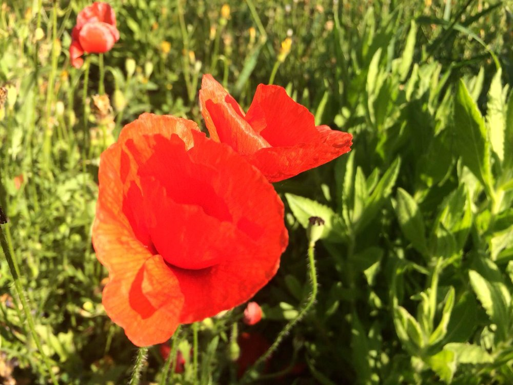 Wild poppies at Villa Amapola