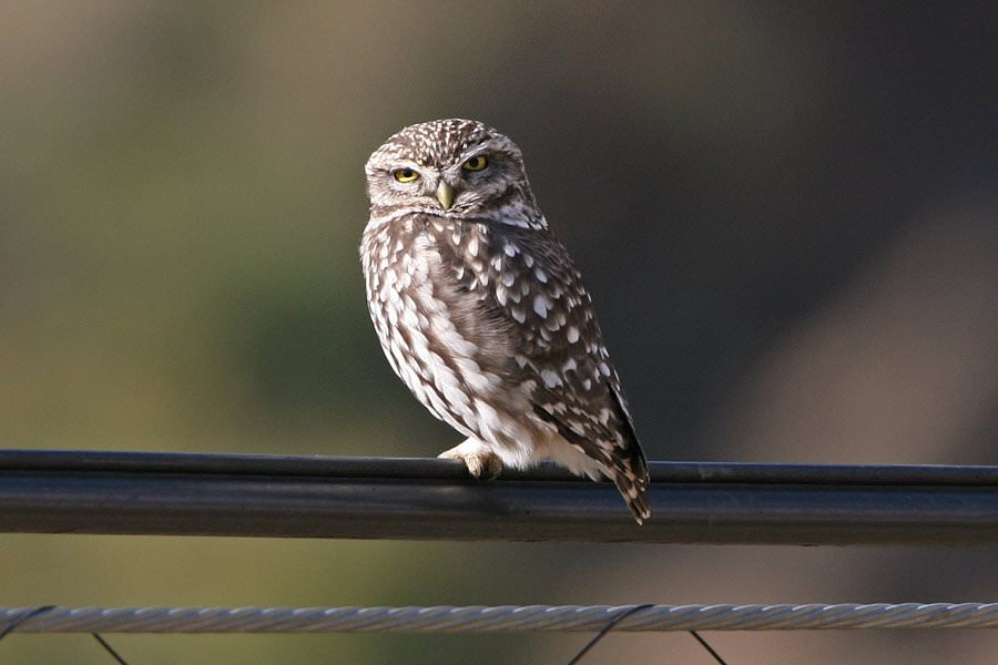 Small owl at Villa Amapola, Periana, Southern Spain.
