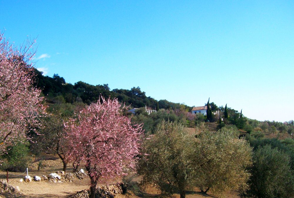 Almond blossom at Villa Amapola