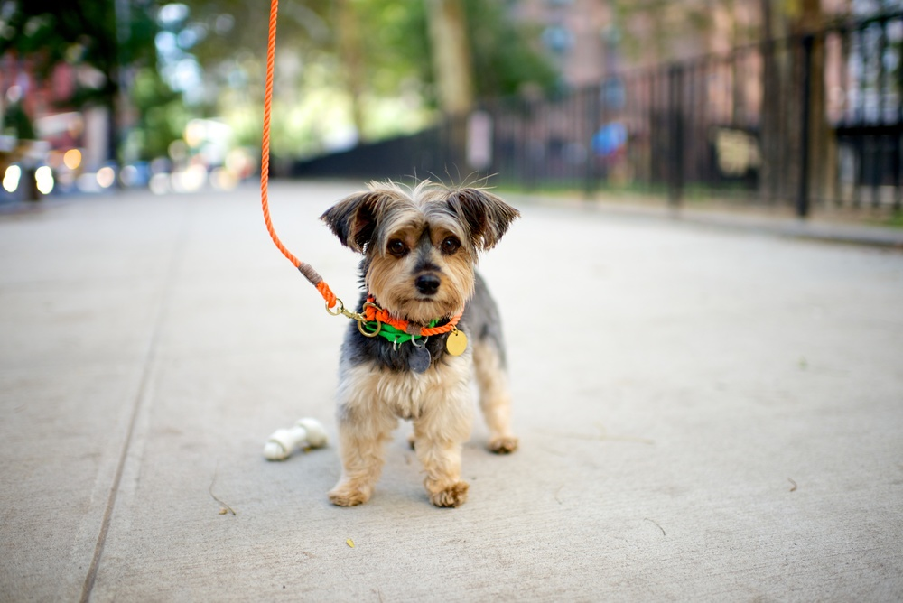 Teddie, Yorkie, 8 years old  All orange leashes and collars, FOUND MY ANIMAL    All photos of dogs, The Dogist