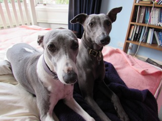 Sally's whippets Lily and Peggy