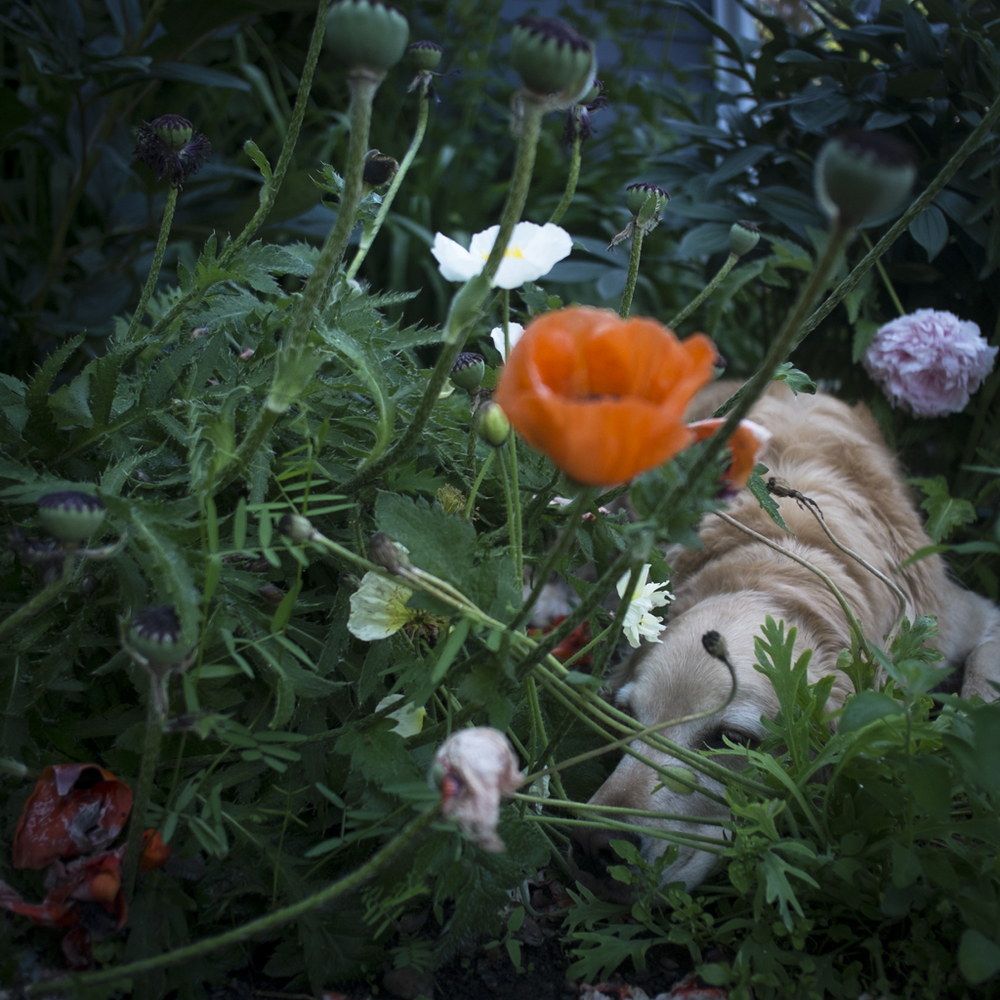 Scarlet in the Poppies, Rockport, Maine, 2014