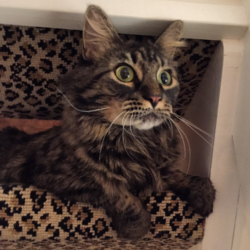Jazzy the Maine Coon mix