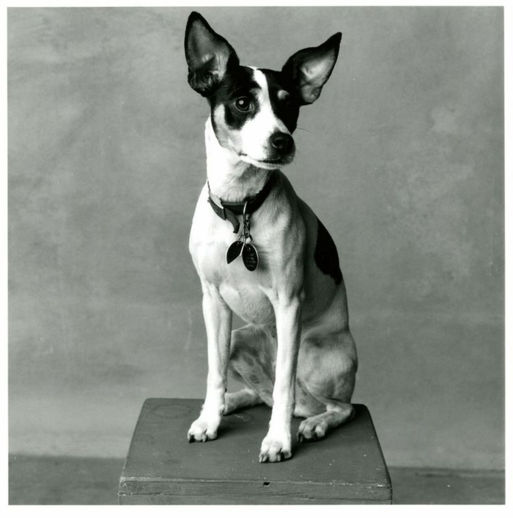 """Lolabelle"" Laurie Anderson and Lou Reed's Rat Terrier"