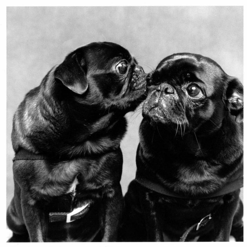 """Rose and Louise"" John Guare and Adele Chatfield- Taylor's Pugs"