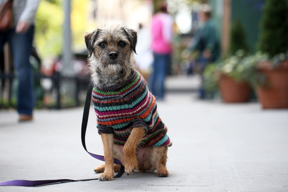 Kaleb is a Border Terrier, 5 yrs old