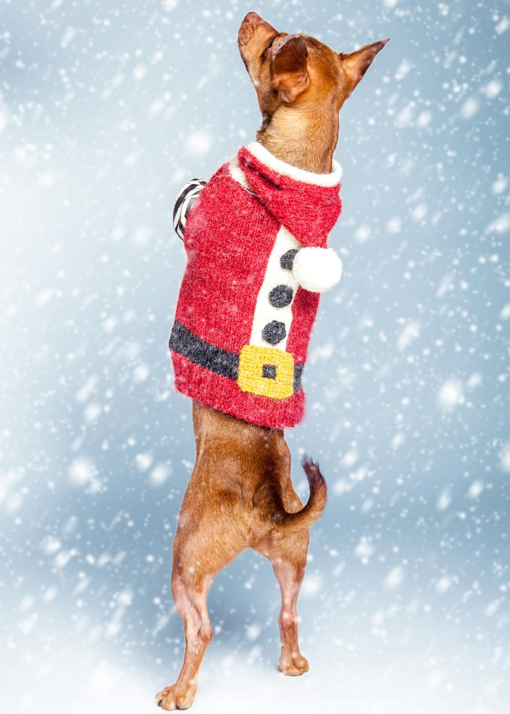 Linus     in a  DOG & CO. Santa sweater