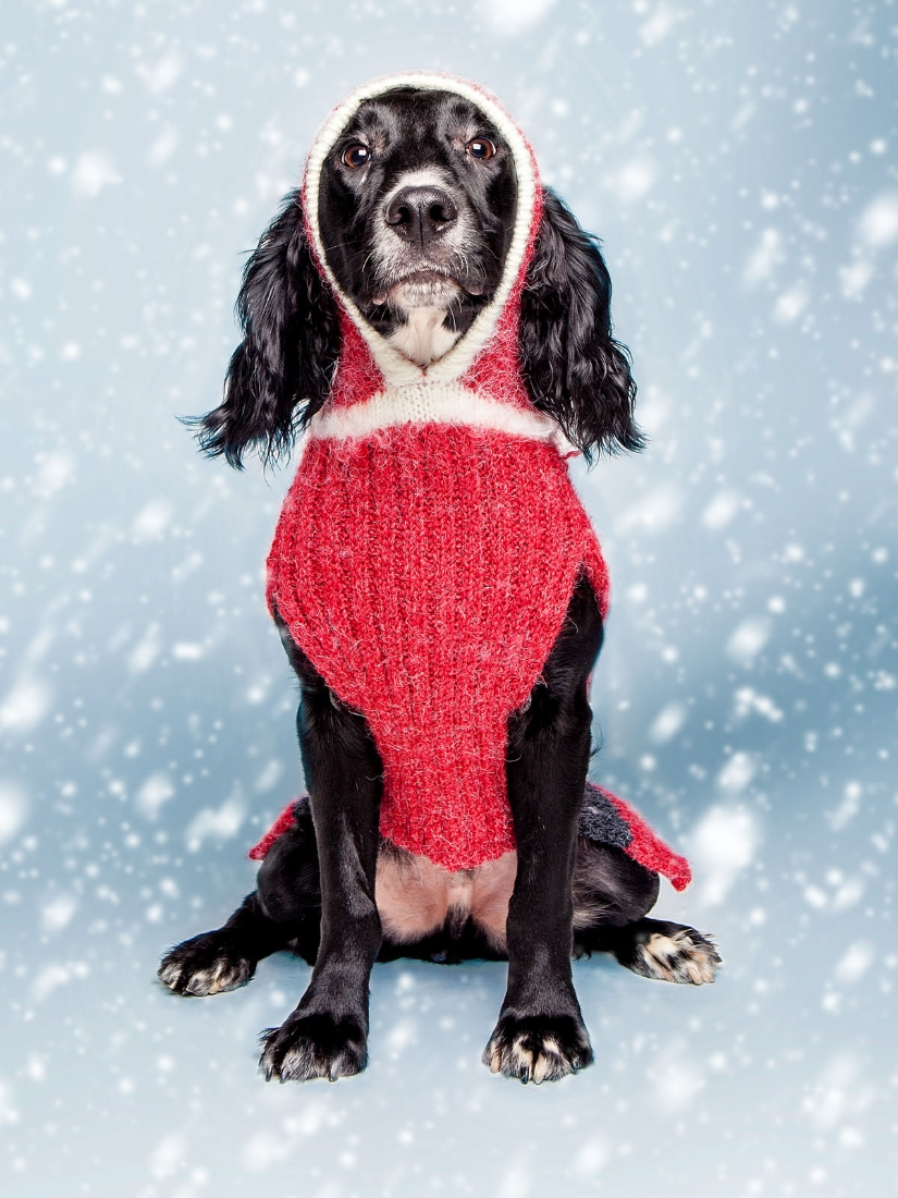 Lucky in a  DOG & CO. Santa Paws sweater