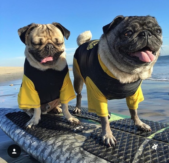 "Couldn't resist tossing my buddy @itsdougthepug into the story! As he says, ""Surfer girls are bae"".  What else would you expect!"