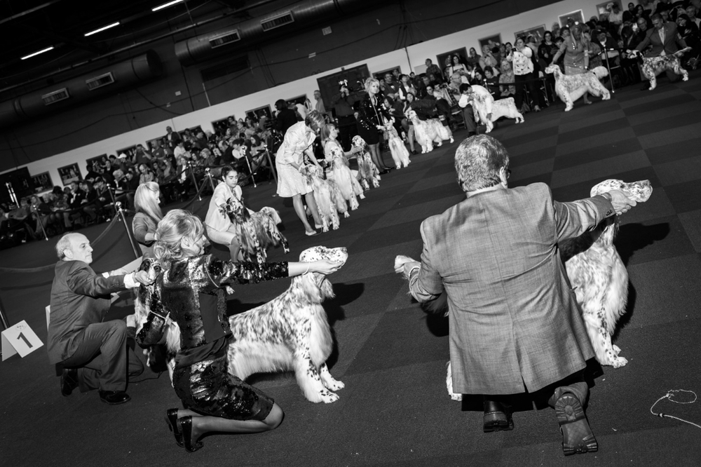 English Setters and handlers during a judge's review. Pier 94 during the 140th Westminster Kennel Club dog show in New York City.