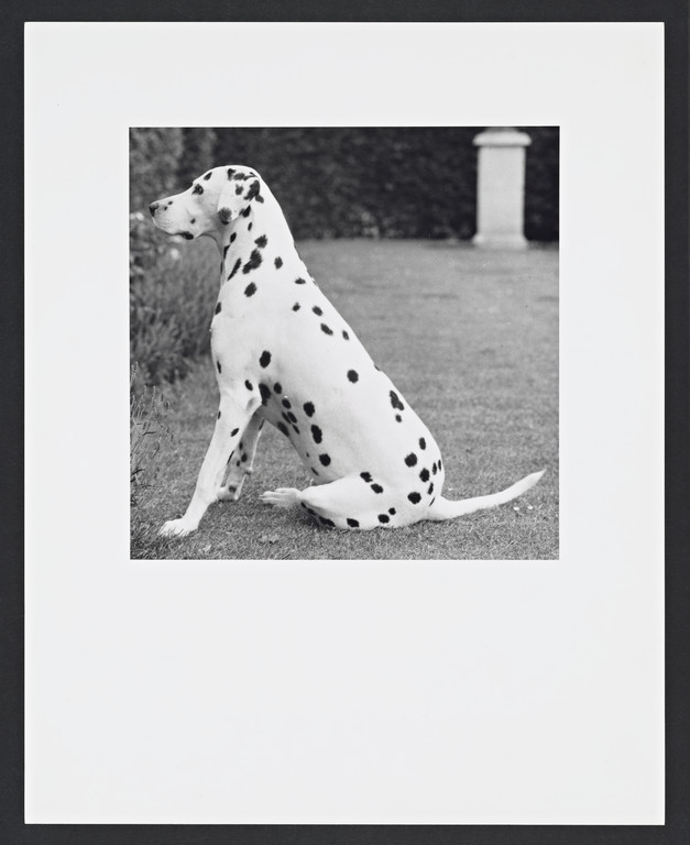 Dalmation @Robert Mapplethorpe Estate. Used by permission.