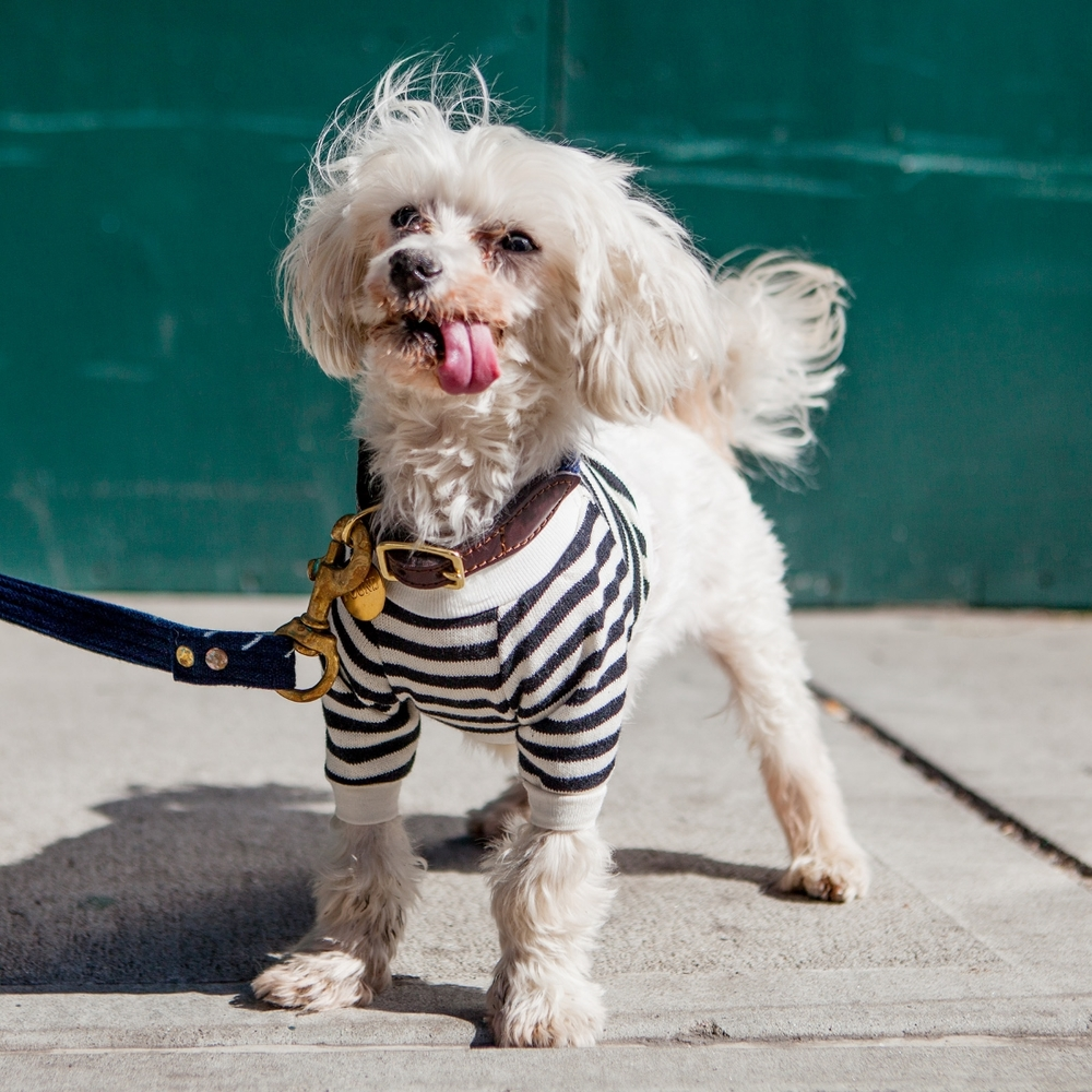 Mr. Softie  sporting a  DOG & CO.  striped tee leash and collar also DOG & CO.