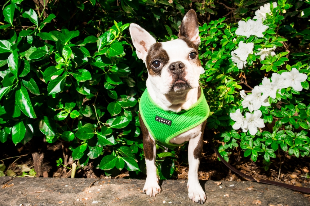 Abigail - 8 year old Boston Terrier, she is deaf and was rescued from a puppy mill where she was being used as a breed dog. She loves EVERY person she meets and will do anything for a treat or a belly rub. She also has an Instagram ( @abigailthebostonpig ).