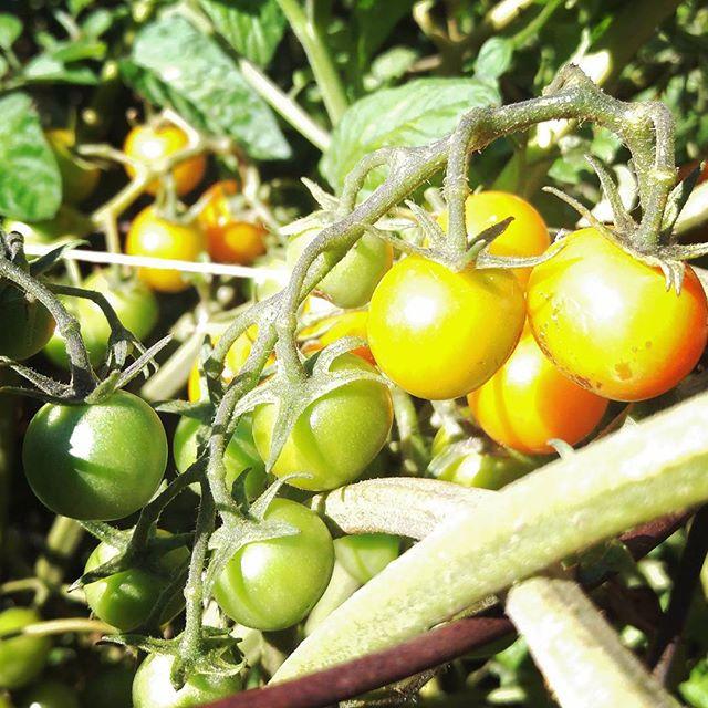 Cherry #tomatoes / Ripening to #perfection / In sweet tanginess 🍅🍀🌞 #haiku #garden #peace  #love #naturalbeauty  #healthylifestyle #raw #vegan #gardening #nature #yum #eatyourveggies #loveyourtools #humanelywild