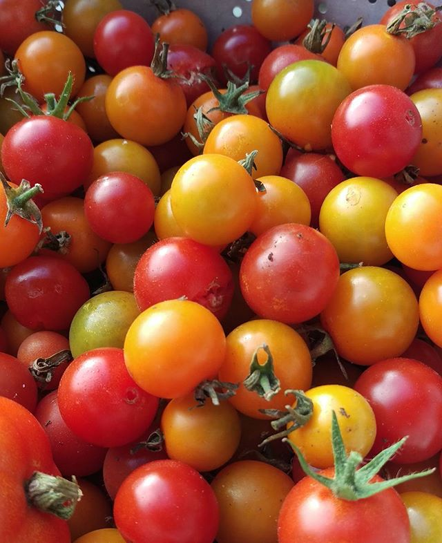 The bounty of the #garden - even the dog loves them!  #tomatoes #cherrytomatoes #gardening #backyard #healthylifestyle #healthyeating #healthyeats #tomatosalad #vegetables #vegan #goodfood #healthysnack