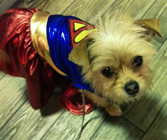 A friend & her cat gifted my supergirl her first costumes... #omg #dogsofig #holycow #terriersofinstagram #chihuahuasofinstagram#marvel #humanelywild #innocence #thatcape