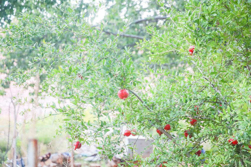 Pomegranate trees!