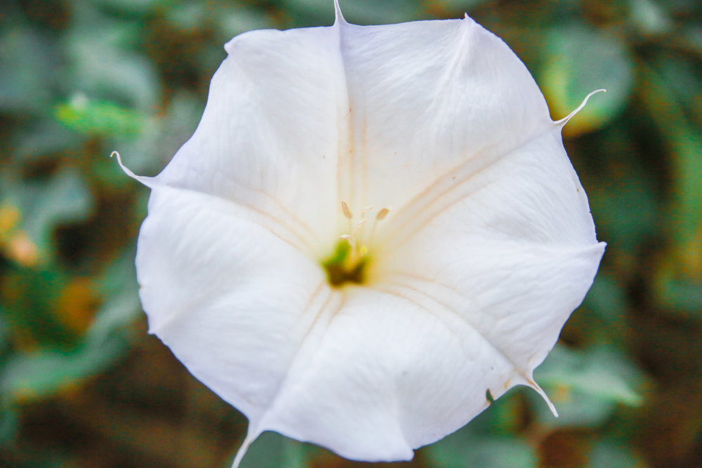 Now while this just looks like a pretty white flower, it is actually extremely poisonous and hallucinogenic.  Called the Sacred Datura-  it's not something you ever want to pluck and put in your hair or give to your sweetie! (well unless you're really really REALLY mad at them tee hee)