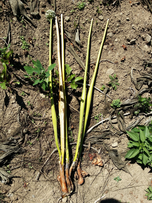 Notice how a seed onion grew into multiple plants. Also note the shape of the seed stalk. It is hard and swollen.
