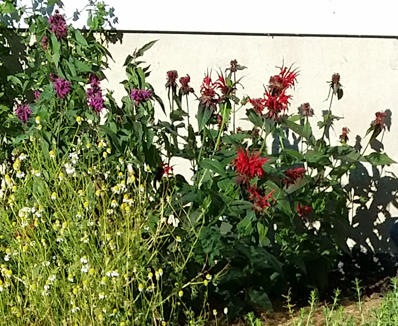 Bee Balm in the summer. Notice that it comes in purple and red. That is chamomile on the left, a wonderful herb for soothing tea. Bee Balm is also great for tea.