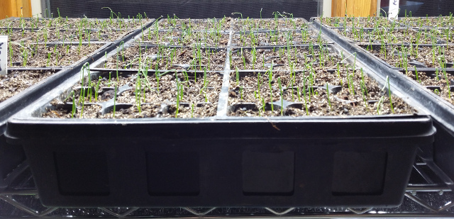 Onion seedlings! It really is worth the little bit of work to get them started.
