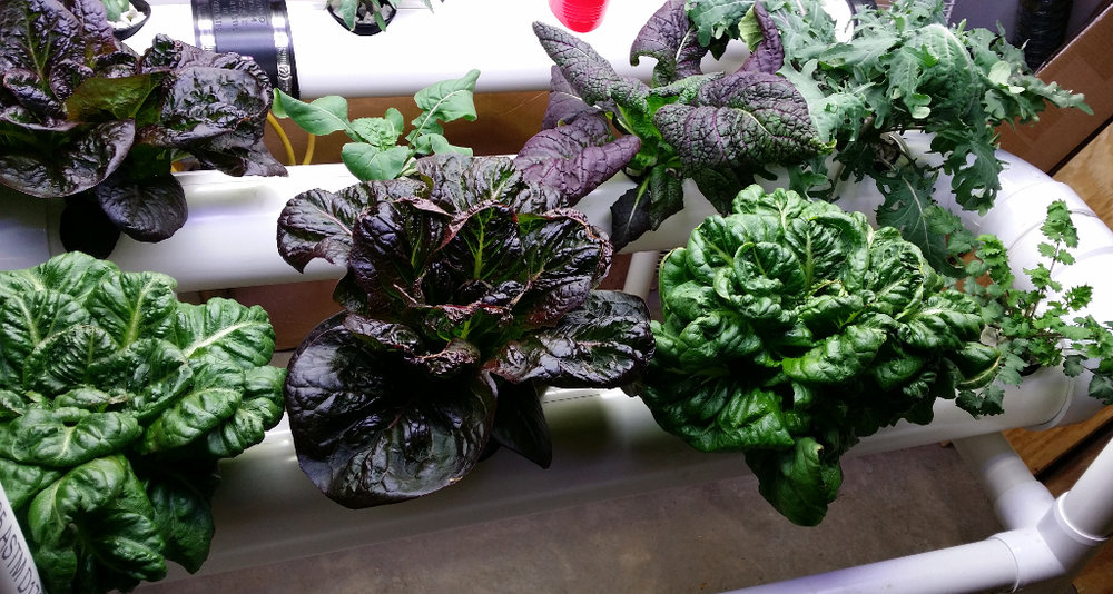 The red lettuce is a new variety I created in 2016. Both lettuces are my creation.