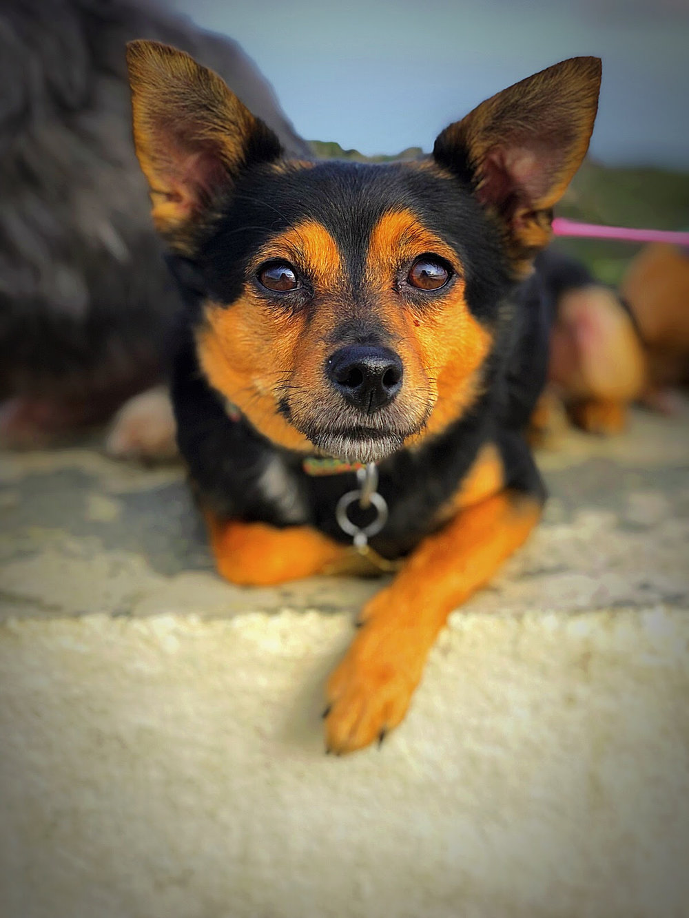 CHEECH - BREED: Chihuahua / Miniature Pincher / etc. | RESCUED (Brooklyn, NY)LOVES: barking a lot, snacks, cuddling with very specific people, rolling in gross things on the beachHATES: sudden loud noises, new people, unpredictable movements and sounds in general