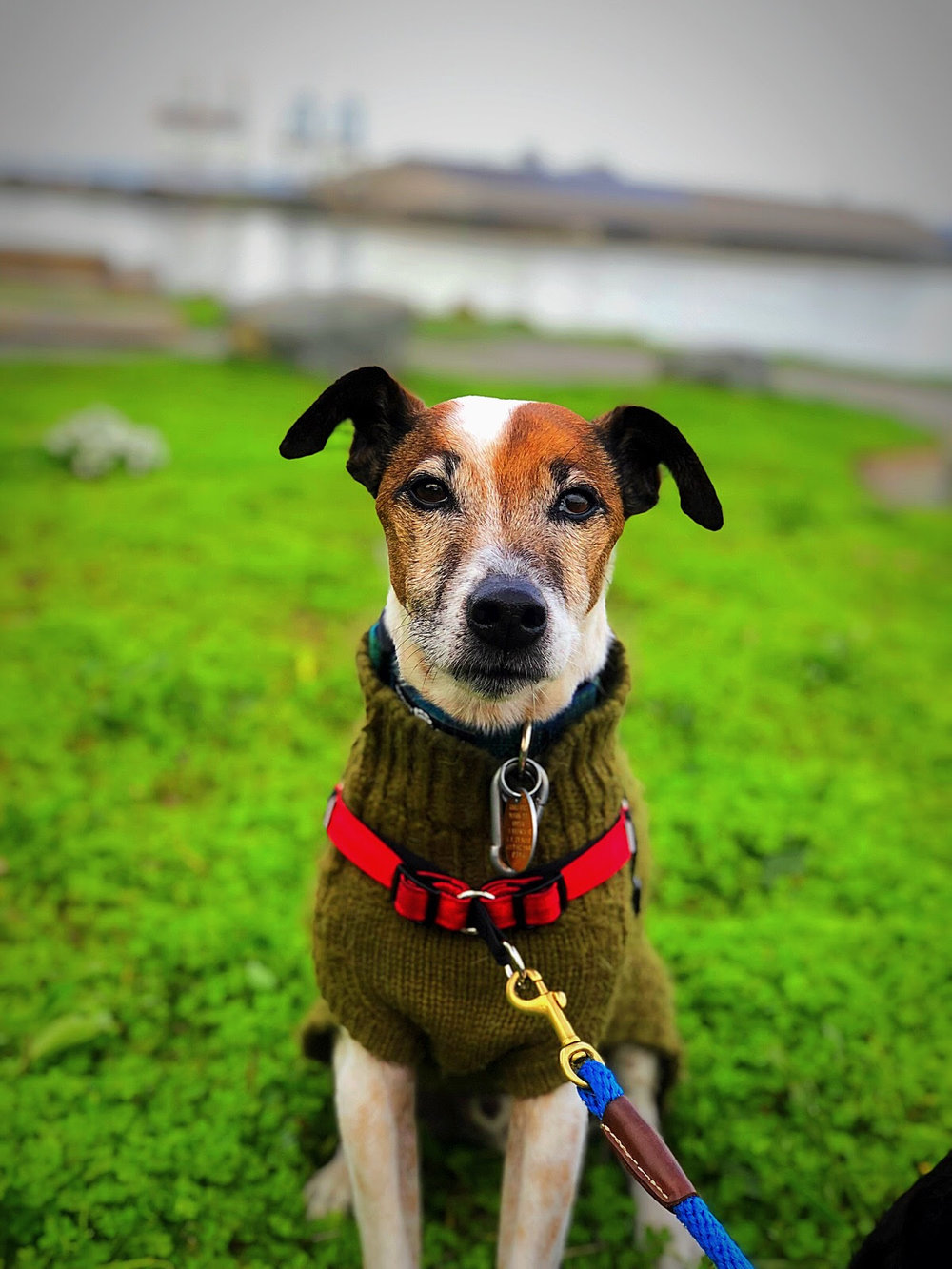 ED - BREED: Rat Terrier / Jack Russell Terrier | RESCUEDAGE: 10 yearsLOVES: screaming, earthworms, sweatersHATES: eye contact with other dogs, cats