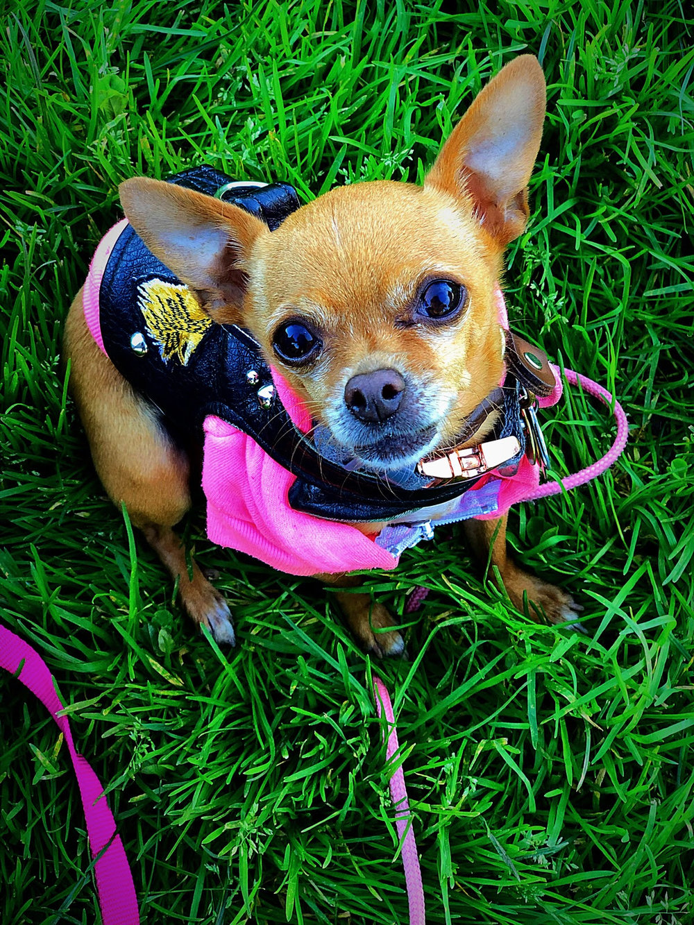 GRETA TINY DANCER - BREED: Teacup Chihuahua | RESCUED, Grateful Dogs Rescue (SF, CA) AGE: 7 yearsLOVES: snoozing in soft blankets, being warm, carrots, sweet potato fries, sunbathingHATES: clouds, cold, rain, anyone getting too close for comfort, unnecessary socializing