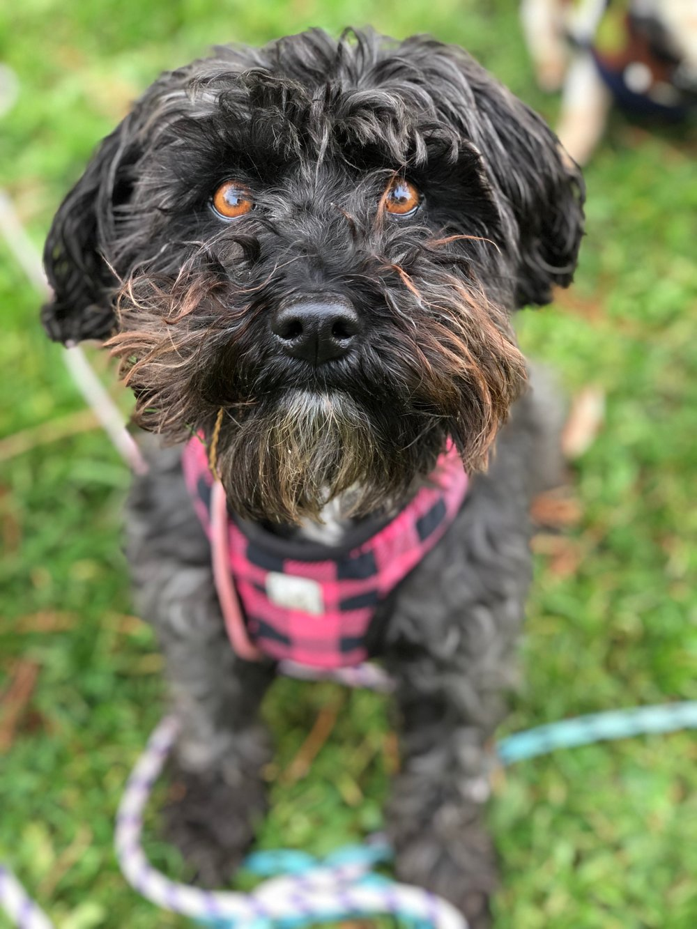 MISS SANCHEZ - CURRENTLY ON MATERNITY LEAVEBREED: Schnoodle (Schnauzer + Poodle) | RESCUED Tijuana Street DogLOVES: people, exploring her world, being smart, yelling and lunging at other dogsHATES: other dogs she doesn't know