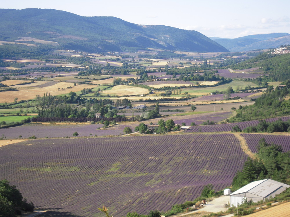 Lavender fields in the South of France